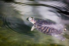 乌龟游泳在一个池塘在动物园里 库存照片