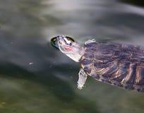 乌龟游泳在一个池塘在动物园里 免版税库存照片