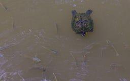 乌龟游泳在有鱼的一个池塘 免版税库存图片