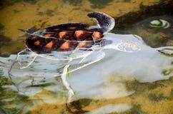 乌龟游泳在水中 库存照片
