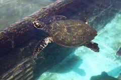 乌龟游泳 免版税库存照片