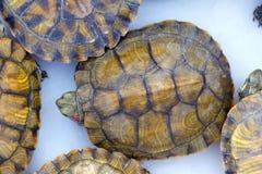 中国池塘乌龟 免版税图库摄影