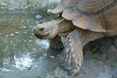 乌龟用力嚼草 图库摄影