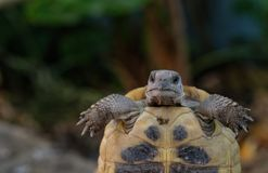 乌龟画象 免版税库存照片