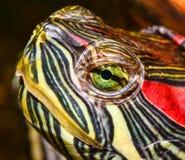 乌龟的纵向 图库摄影