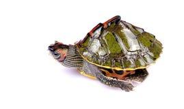 乌龟走 库存图片