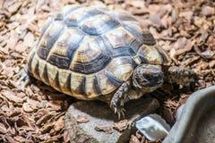 乌龟陆龟Marginata欧洲landturtle吃7 库存图片