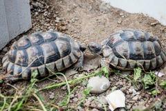 乌龟陆龟Marginata欧洲landturtle吃13 库存照片