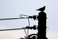 乌龟鸠,斑鸠turtur 免版税图库摄影