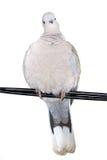 乌龟鸠 免版税图库摄影