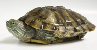 乌龟黄色 免版税库存照片