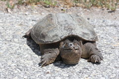乌龟,共同的攫取的Chelydra serpentina 免版税库存照片