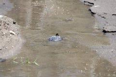 乌龟,被绘的内地(Chrysemys picta) 图库摄影