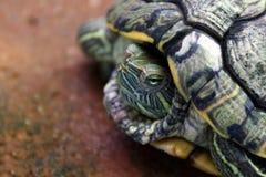 乌龟,顶头乌龟关闭,在壳的乌龟合同 库存图片