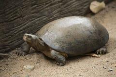 乌龟/淡水乌龟 库存图片