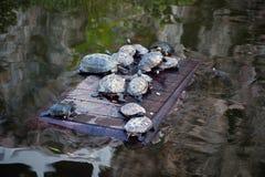 乌龟 淡水乌龟在公园 免版税库存照片