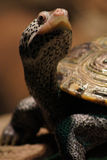 乌龟画象 免版税图库摄影