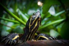 乌龟画象 库存图片