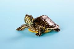 乌龟年轻人 库存图片