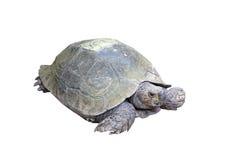乌龟(选择的焦点)的眼睛与它的在土壤groun的整体 库存照片