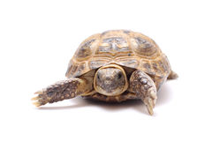 乌龟 免版税库存图片