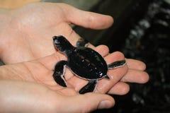 乌龟崽 免版税库存图片