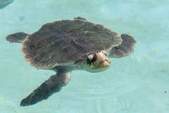 乌龟Xcaret墨西哥 免版税库存照片