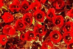 乌贼属与红色褐色瓣和黄色叶子的接触郁金香 免版税库存照片