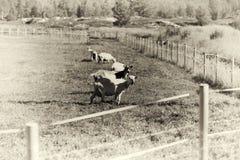 乌贼属在农厂背景的挪威绵羊 图库摄影