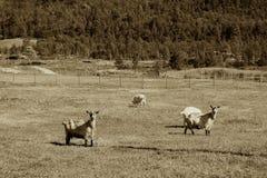 乌贼属在农厂背景的挪威绵羊 库存图片