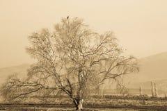 乌贼属孤立树 库存图片