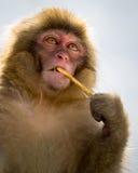 乏味猴子 库存照片