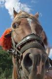 乐趣一匹马的特写镜头画象与栗子头发的 免版税图库摄影