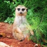 乐趣和非常滑稽的meerkats在步行在摆在为摄影师的动物园里 免版税库存图片