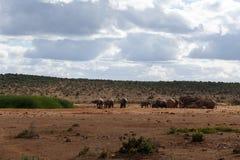 乐趣在一多云天-非洲人布什大象 免版税库存照片