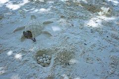 乐趣海滩沙子乌龟鸡蛋 库存照片