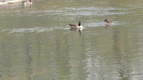 乔治亚、海岛福特公园、两只鹅哺养在水中的和在他们后的一只鹅 股票视频