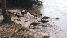乔治亚在夏天,哺养加拿大鹅的整个群A人在查塔胡奇河旁边 股票录像