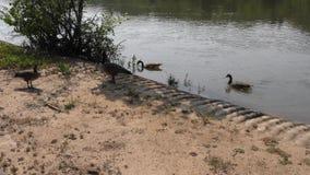 乔治亚在夏天,游泳和走沿Chattahoochee的几只加拿大鹅劈裂 股票视频