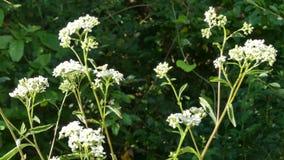 乔治亚在夏天, A补丁白色thoroughwort花卉生长沿查塔胡奇河 影视素材