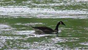乔治亚,唐白色公园,照相机跟随在查塔胡奇河的加拿大鹅游泳 股票视频