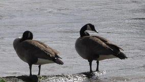 乔治亚,查塔胡奇河,关闭晒黑在日志的两只加拿大鹅 股票视频