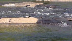 乔治亚,琼斯桥梁公园,哺养在查塔胡奇河的岩石后的两只野鸭鸭子 影视素材