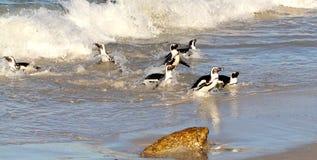 乘坐海浪,西开普省,南非的非洲企鹅(蠢企鹅demersus) 免版税库存图片