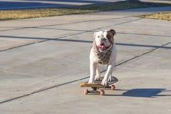 乘坐滑板的快乐的英国牛头犬在街道 库存照片