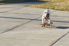 乘坐滑板的狗在街道 免版税库存图片