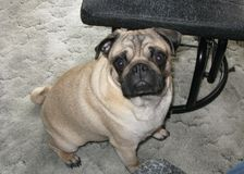 九个月的哈巴狗狗 免版税库存图片