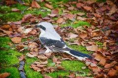 九凶手了不起的灰色伯劳是燕雀类鸟凶猛掠食性动物  免版税库存照片