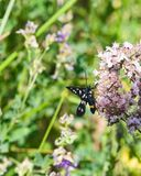 九被察觉的飞蛾或黄色围绕了burnet,艾买提phegea,以前Syntomis phegea,在花的特写镜头 库存图片