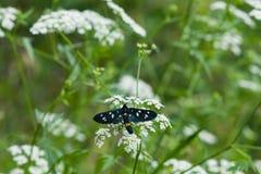 九被察觉的飞蛾或黄色围绕了burnet,艾买提phegea,以前Syntomis phegea,在花的特写镜头 免版税图库摄影